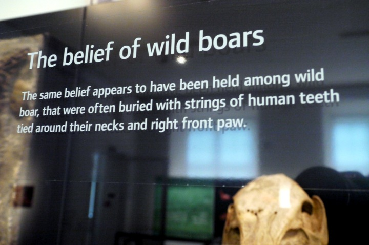 An 'extra' caption on a display case containing boar remains and boar's-tusk necklaces in the National Museum of Denmark